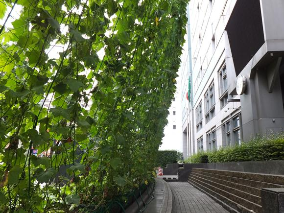 この夏はエコな節電! 緑のカーテンで木陰作り