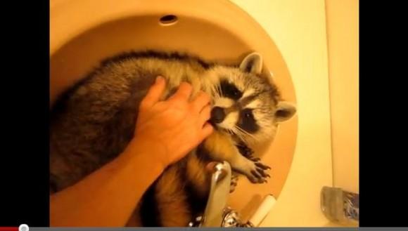 洗面所のシンクにすっぽりハマッタ「野生のアライグマ」