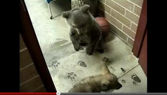 小熊と赤ちゃんオオカミがじゃれあう姿がどうみてもぬいぐるみにしか見えない!