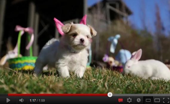 きゃー、かーわーいーいー! ワンコにウサギの耳をつけて可愛さ倍増の癒し動画