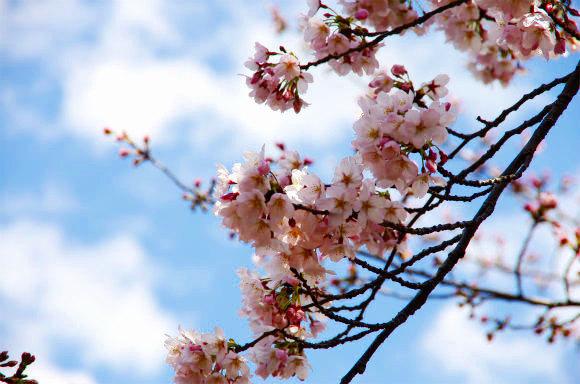 都内お花見最前線! 目黒川沿いの桜も一部開花「元気な昼桜」「艶やかな夜桜」をご堪能あれ