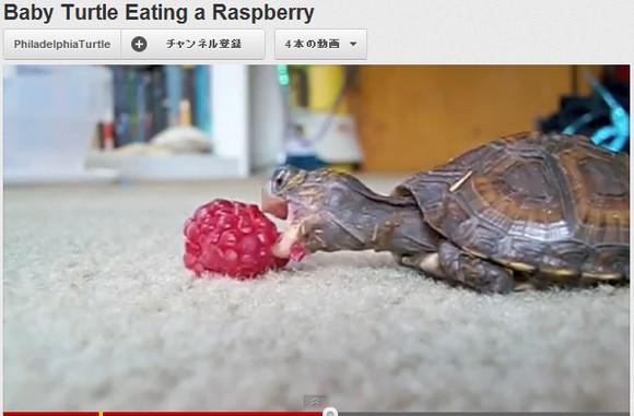 動画「子ガメにラズベリー」がカワイすぎる! 実はエサを食べるときのカメって狂おしいほどカワイイんだよ!!