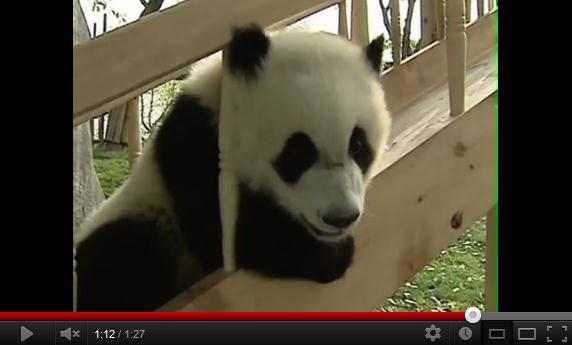いやぁぁぁん、かわいすぎ~! 滑り台で遊ぶパンダちゃんたちのキュート動画