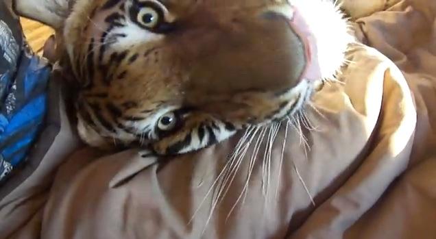 ひえぇーーーっ!! 超獰猛そうなトラをペットとして自宅で飼う男性…これはマジでヤバイって!