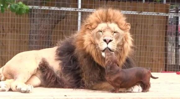 ひょえぇぇぇ~!! ダックスフンドがライオンのお口の周りをペロペロしておる……!
