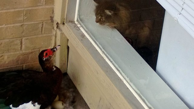 家の外をふと見たら仰天!! アヒルが卵を産んで育ててたーッ! アヒルのドタバタ育児記録(画像)
