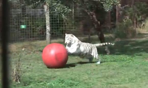 にゃんにゃんにゃーん! まるでニャンコみたいにボールで遊ぶホワイトタイガーZABUちゃん