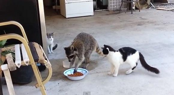 ニャンコの食事にアライグマが乱入/冷たい視線を無視してキャットフード持ち逃げ