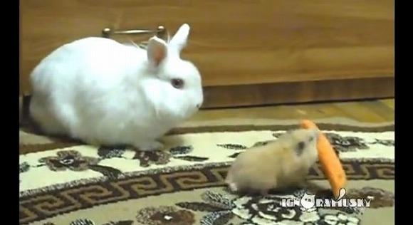 おいまじかよ! ウサギのニンジンを持ち逃げするハムスター / それをじ~っと見守るウサギの心境とは…