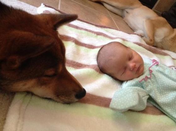その温かいまなざしに癒やされる~ 生まれたばかりの赤ちゃんを優しく見守る柴犬