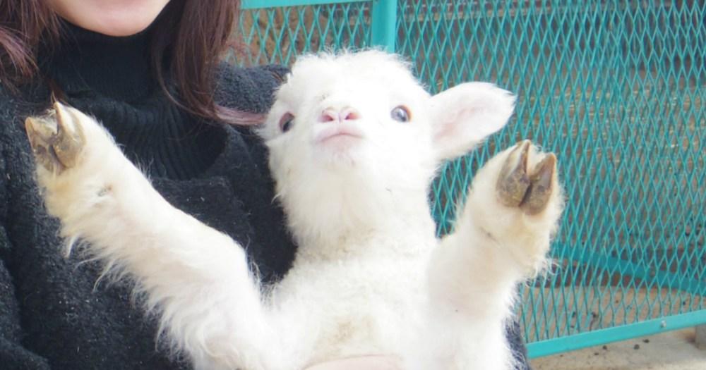 体験レポ】本当に子羊は「バンザーイ」してくれるのか? 生後2週間の ...