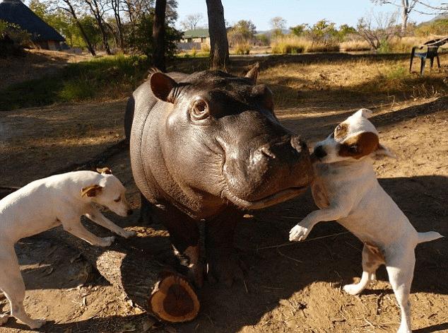 動物みな兄弟なのだ! ママとはぐれた赤ちゃんカバと2匹のわんこ達の心温まるお話