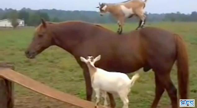 どうしても馬の背中に乗りたいヤギたち/「どいつもこいつも……」とでも言いたげな馬さんの表情にご注目