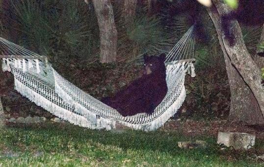 【衝撃】ハンモックに寝そべってくつろぐクマさんが激写される