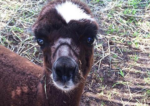 【もふもふ】八ヶ岳アルパカ牧場で1日限定15組の「アルパカとお散歩」してきた! / 6月に生まれたばかりのチビアルパカも見れちゃうよ!