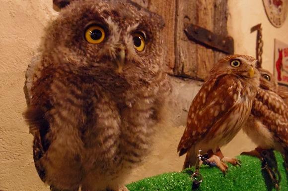 【体験レポ】気分はハリー・ポッター! 今話題の『鳥のいるカフェ浅草店』でフクロウさんたちと遊んできた