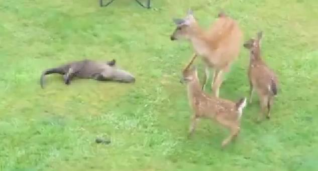愛情表現下手すぎるでしょ……鹿さん親子と仲良くなりたくて孤軍奮闘するカワウソさんの様子をご覧ください
