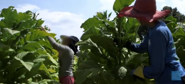 【夢の国アメリカの現実】過酷なタバコ農園で働かされる子供たち
