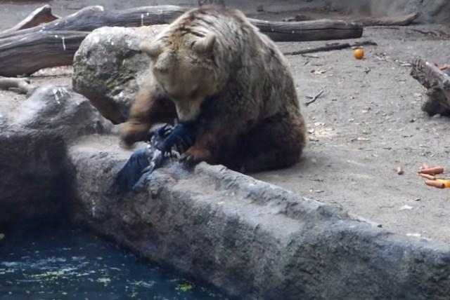 【本日のくまさん動画】食べちゃうのかとおもいきや…水の中で溺れている鳥を救出したクマさん