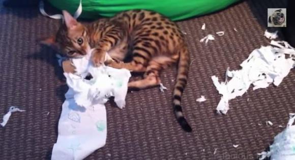 ここは事件現場かよ!! トイレットペーパーをビリビリにやぶくネコちゃん動画集
