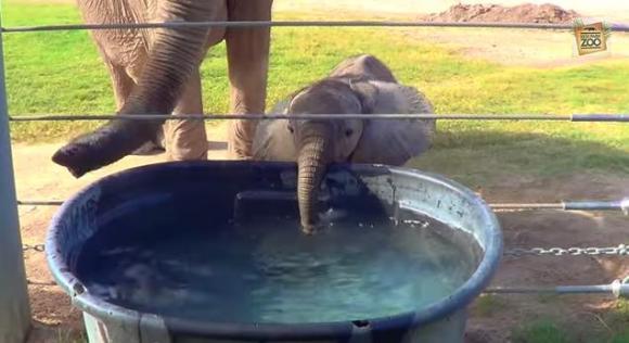ひゃあぁかわいいすぎる!! 耳をパタパタしながらバケツの水を一生懸命に飲むゾウの赤ちゃん