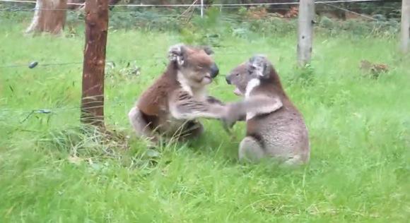 コアラが殴り合いのケンカ! をしてるんだけど思わず笑っちゃう呑気さでむしろ和みます