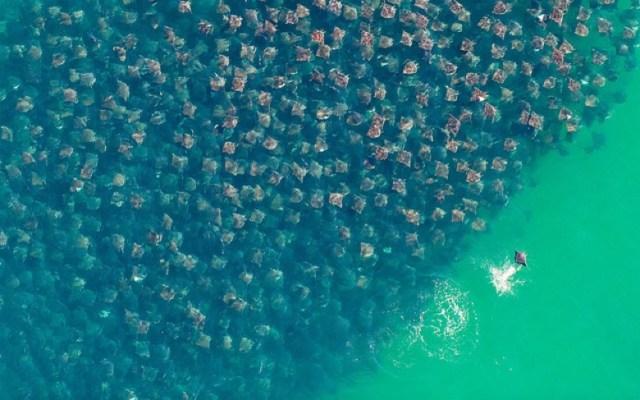 【珍光景】海が黄金になる怪奇現象の理由は1万匹のエイだった! 息をのむ光景に絶句!