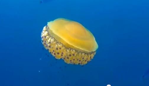 海をただよう目玉焼きクラゲ!? フライド・エッグ・ジェリーフィッシュが可愛いを通り越してむしろおいしそうだと話題に!