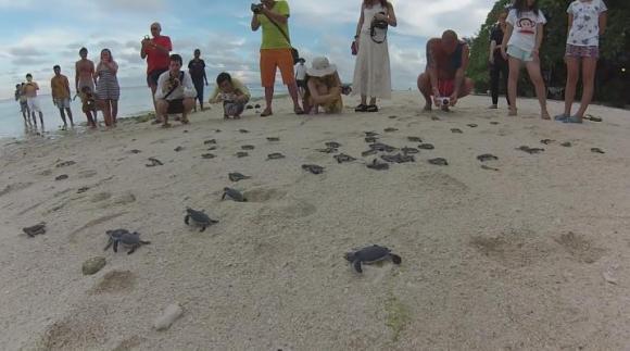 「がんばれ~」って応援したくなる!! ウミガメの赤ちゃん150匹を海にかえす動画が感動的