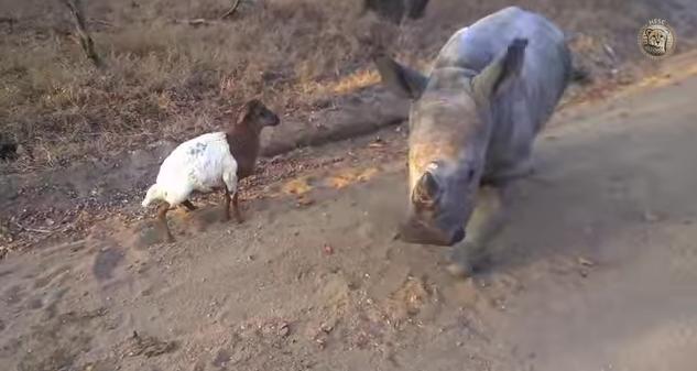 なんて微笑ましいんだ!! サイの赤ちゃんと羊の赤ちゃんの戯れ…しかしそこには悲しい背景が