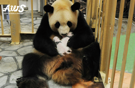 かわいいジャイアントパンダの赤ちゃんの名付け親になってみんなに自慢しませんか?