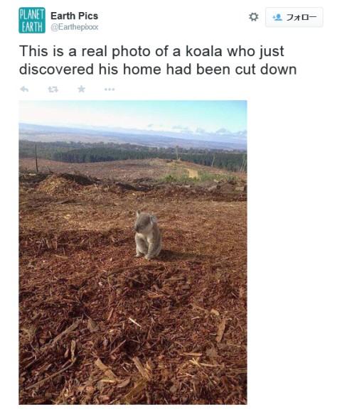 せ、せつなすぎる…!! 森林伐採でオウチをなくしたコアラがぽつーんとたたずむ姿がツイッターで話題!