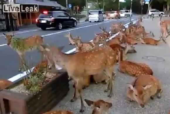 いくらなんでも多すぎる!? 奈良発「鹿だらけ」動画が思わぬ議論へと発展
