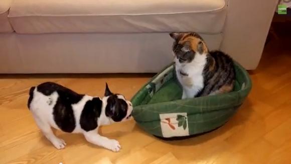 """""""ちびワンコ"""" がベッド奪回に全力を尽くすも """"ニャンコさま"""" の態度が余裕すぎてまったく相手にならない… / 猫「バウンドしてるけど全然余裕」"""