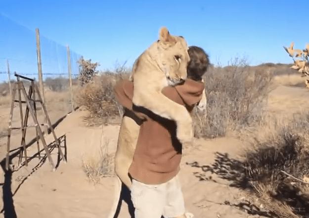 【じわり感動】ネコというよりはイヌのように人にじゃれるライオンの希少動画