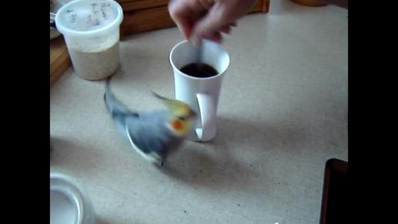 """【なぜなのか】コーヒーをかき混ぜるとマグカップの周りを """"ぐるぐる"""" まわっちゃうオカメインコ"""