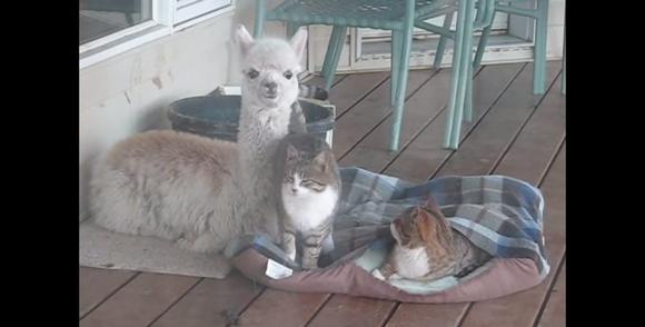 仲睦まじい3匹のネコたち…と思いきや1匹だけやけに首が長くてモフモフしてる / ネットの声「落ち込んだときは必ずこれ見てる」