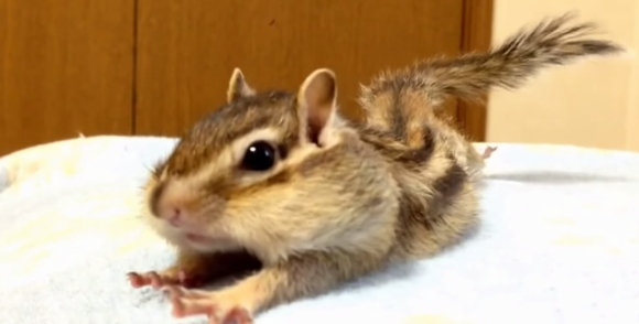 【ほっこり】指先までピーン! 朝のストレッチを行うシマリスのビッケちゃんがかわええ / ネットの声「本当に癒される!」
