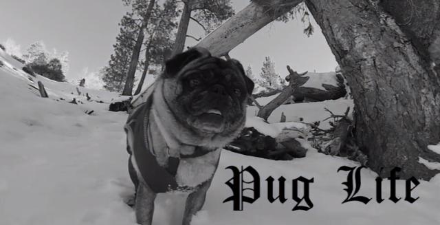 【これぞドヤ顔】ハイテク機材「GoPro」で撮影されたスノーボードをするパグ