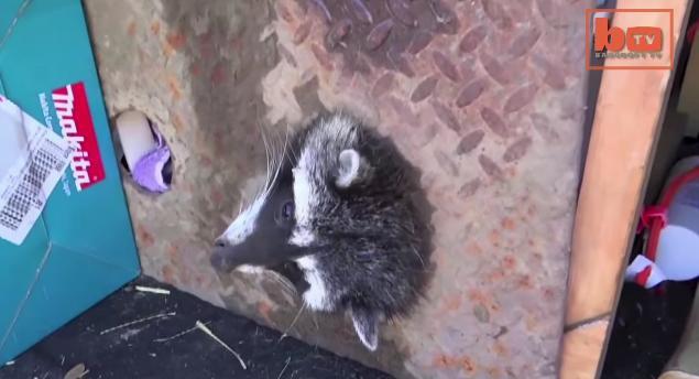【トホホ】排水溝の隙間に頭がすっぽりハマってしまったアライグマさん大救出劇
