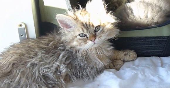 """まるでムートン? 巻き毛のネコ「セルカークレックス」の """"もさもさ"""" 感がハンパない"""