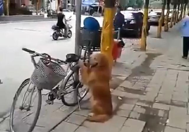"""【萌えキュン動画】「なにがあっても守る……!」飼い主さんのため """"自転車の番犬"""" に徹するお利口ワンコを発見"""