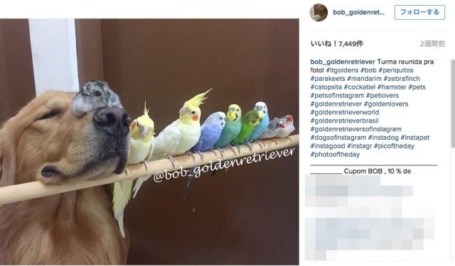 """【これぞ平和】ゴールデンと8匹の鳥、ときどきハムスター♪ ブラジルでなかよく暮らす """"大所帯"""" がInstagramで話題に!"""