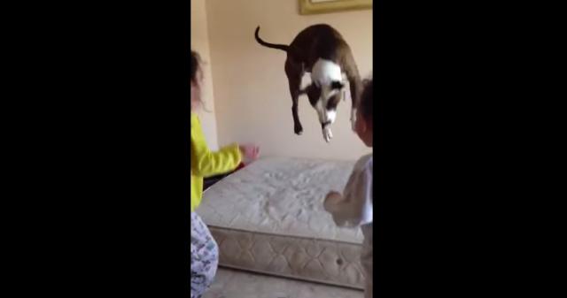 【なにこのかわいさ】子供たちと一緒にジャンプ! マットレスの上でぴょんぴょん飛び跳ねるわんこがかわいすぎる!