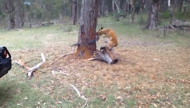 【救助せよ!】子鹿が木の周りで大暴れしているその理由…あなたならどう思う?