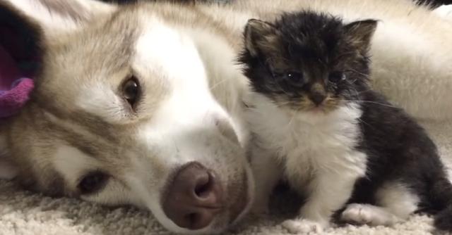 くぅーッ泣ける! 瀕死の子猫を救った「優しいハスキー犬」のお話