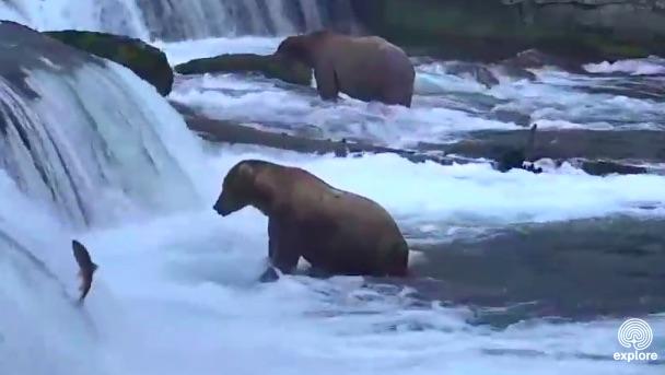 【大迫力】大量の鮭とそれをガツガツ食べるクマさんたち! アラスカの大自然をリアルタイムで観てみよう