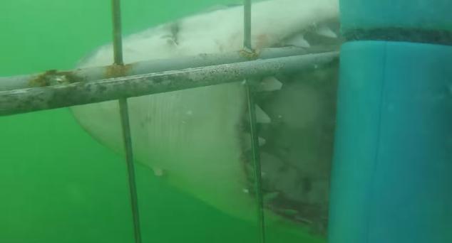 【サメすごい】檻をブチ破ってきそう……! ホホジロザメが目の前で襲いかかる瞬間に圧倒される
