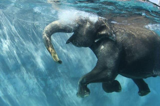 でっかいプールで泳ぐゾ~ウ! ゾウさんの優雅な泳ぎっぷりを間近で見られるプールが富士サファリパークに出来たゾゥ!