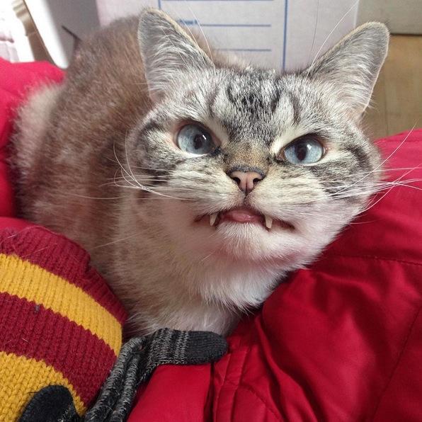ドラキュラみたいなニャンコ「ロキ」が超絶可愛い! 小悪魔的表情にハートを撃ちぬかれちゃうよ!